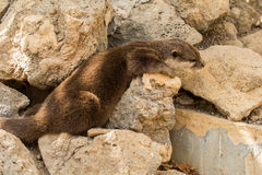 Mink. Across the big stones to climbs a mink Stock Photo