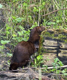 Mink at the bank Royalty Free Stock Image