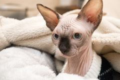 Sphynx kitten lying in blankets. A mink colored hairless Sphynx kitten with blue eyes lying in a bed of warm blankets stock images