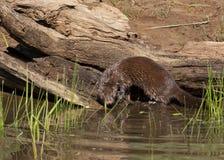 Mink Coming da un ceppo vicino al fiume Immagini Stock Libere da Diritti