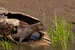 Mink coming out of a log Royalty Free Stock Image