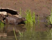 Mink Coming ut ur journal och den skrivande in floden Arkivfoton