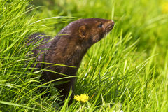 Mink. Curious mink with fluffy brown fur Royalty Free Stock Photo