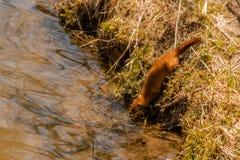 Mink Entering Otter Creek salvaje imágenes de archivo libres de regalías