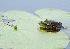 Mink Frogs in Amplexus. Photograph of apair of adult Mink Frogs in amplexus (mating) while on a lilly pad in a remote Wisconsin northwoods river Royalty Free Stock Photography
