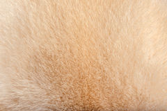 Mink fur Stock Photography