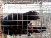 Mink in gevangenschap stock afbeeldingen