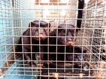 Mink in gevangenschap stock foto