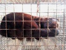 Mink in gevangenschap stock afbeelding