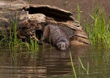 Mink Going für ein Schwimmen im Fluss Lizenzfreie Stockfotos