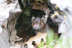 Mink in his den Royalty Free Stock Photo