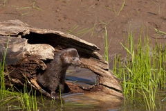 Mink in a Hollow Log Stock Photo