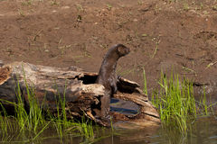 Mink in hollow log standing on back legs Stock Image