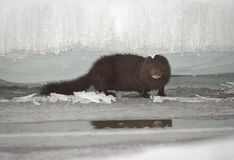 Mink between ice floes Stock Photography