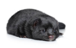 Mink lying on a white background Royalty Free Stock Images