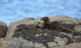 A Mink Neovison vison with a crab that it has just caught in the sea and is about to eat it. On top of a rock Royalty Free Stock Photo
