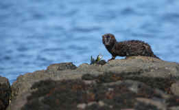 A Mink Neovison vison with a crab that it has just caught in the sea and is about to eat it. On top of a rock Royalty Free Stock Images