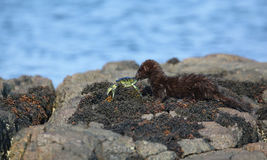 A Mink Neovison vison with a crab that it has just caught in the sea and is about to eat it. On top of a rock Royalty Free Stock Photos