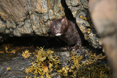 A Mink Neovison vison hunting in the tide pools for food. Royalty Free Stock Image