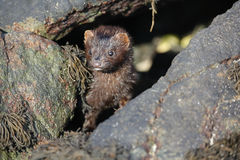 A Mink Neovison vison hunting in the tide pools for food Royalty Free Stock Photography