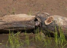 Mink Peeking Out van een Logboek Royalty-vrije Stock Foto