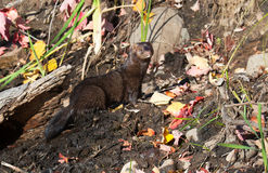 Mink profile Royalty Free Stock Photo