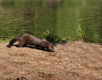 Mink on River Bank Royalty Free Stock Photography
