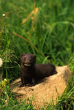 Mink on Rock Royalty Free Stock Image