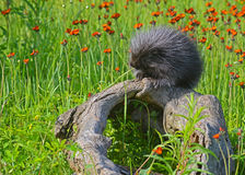 Mink sitting on a log in field of wildflowers. Stock Photo