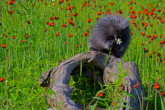 Mink sitting on a log in field of wildflowers. Stock Images