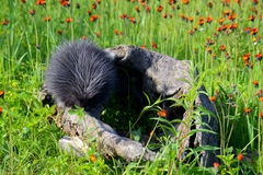 Mink sitting on a log in field of wildflowers. Stock Photos