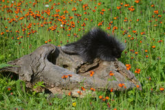 Mink sitting on a log in field of wildflowers. Royalty Free Stock Image