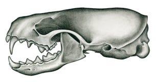 Mink Skull Stock Photos