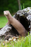 Mink standing up on log Royalty Free Stock Photography