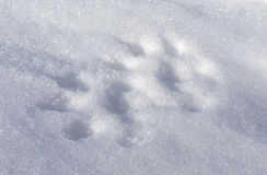 Mink Tracks. The tracks of an American Mink (Neovison vison), a semi-aquatic member of the weasel family, in the fresh snow Stock Photos
