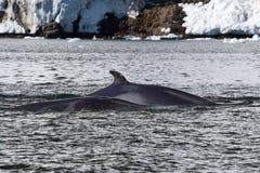 Minke val två som svävar längs Antarktis Fotografering för Bildbyråer