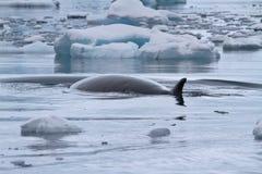 Minke walvis die tussen de kleine Antarctische bewolking van ijsijsschollen drijven stock foto's