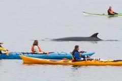 Minke walvis en kajaks Royalty-vrije Stock Afbeeldingen