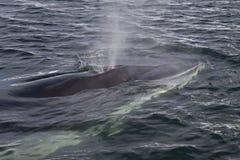 Minke walvis pop-up op de oceaanoppervlakte Stock Afbeeldingen