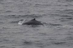 Minke Whale Stock Images