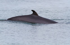Minke Whale Royalty Free Stock Images