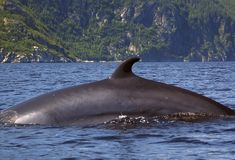 Minke Whale. In the Saguenay River, Quebec, Canada stock photos