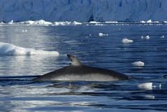 Minke Whale Royalty Free Stock Photo