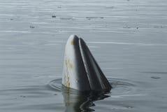 A minke whale in Antarctic Peninsula Stock Photography