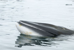 A minke whale in Antarctic Peninsula Royalty Free Stock Photography