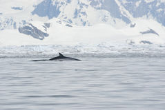 Minke whale in Antarctic waters. Minke whale in the Antarctic summer Royalty Free Stock Photography