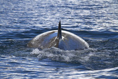 Minke whale back surfaced ocean in the Antarctic 1 Stock Photo