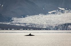 Minke whale, Balaenoptera acutorostrata, with a glacier in the background. Isfjorden, Svalbard. Minke whale Balaenoptera acutorostrata, dorsal fin visible at the royalty free stock photography