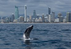 Free Minke Whale Calf Jumps Out Of The Water In Front Of The Gold Coast Coastline Stock Photography - 111063052