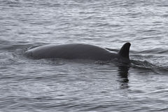 Minke whale floating in Antarctic royalty free stock images